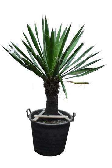 Yucca Carnerosana Stamm 40-50 cm [Palette]