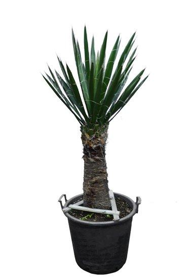 Yucca carnerosana Stamm 50-60 cm [Palette]