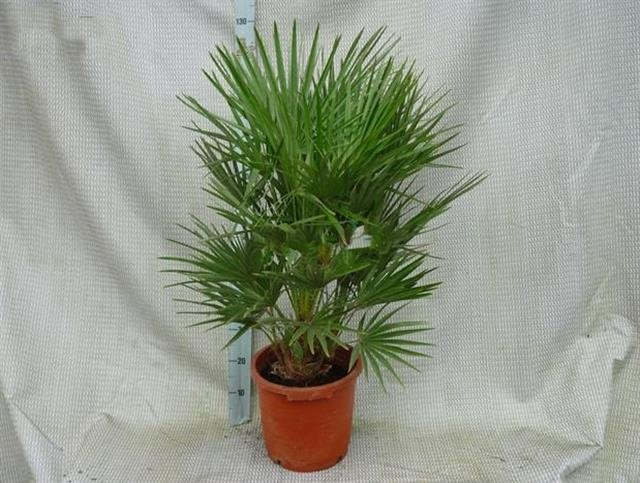 Chamaerops humilis Stamm 15-20 cm