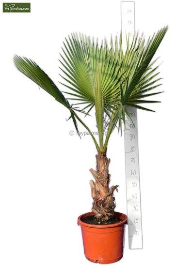 Washingtonia robusta Stamm 40+ cm - Topf 40 Ø cm - Gesamthöhe 160-180 cm [Palette]