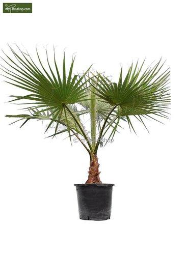 Washingtonia robusta Stamm 30+ cm - Topf Ø 45 cm - Gesamthöhe 160+ cm [Palette]