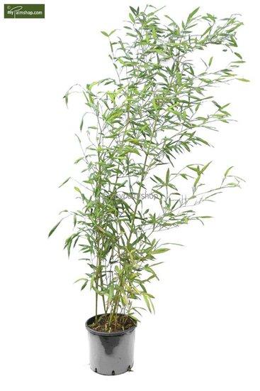 Phyllostachys parvifolia 10 Ltr Topf