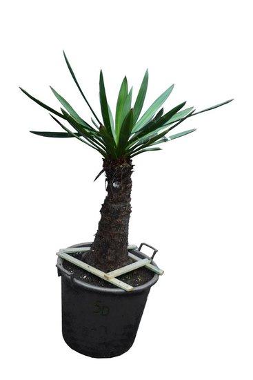 Yucca faxoniana Stamm 50-60 cm [Palette]