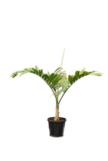 Chambeyronia macrocarpa Topf Ø 40 cm [Palette]