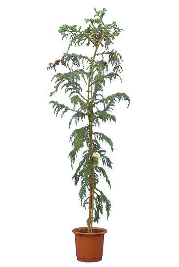 Cryptomeria japonica Rasen Topf Ø 32 cm [Palette]