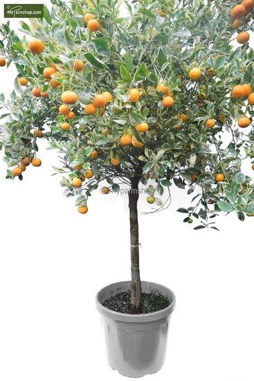 Citrus mitis Calamondine Stamm 60-70 cm [Palette]
