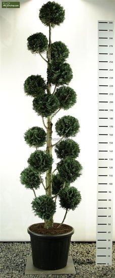 Chamaecyparis lawsoniana Columnaris Multibol Topf: 100ltr. Gesamthoehe: 275-300cm [Palette]