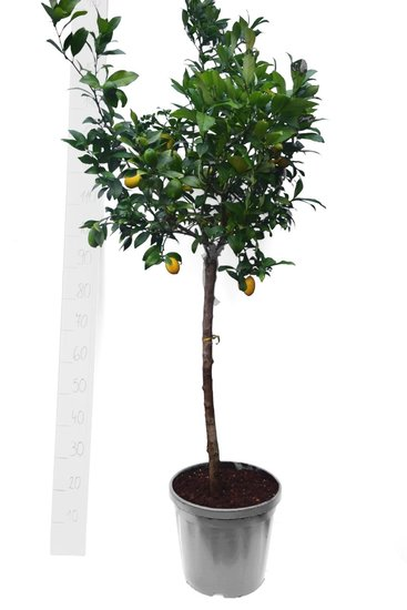 Citrus 'Limequat' Topf Ø 35 cm