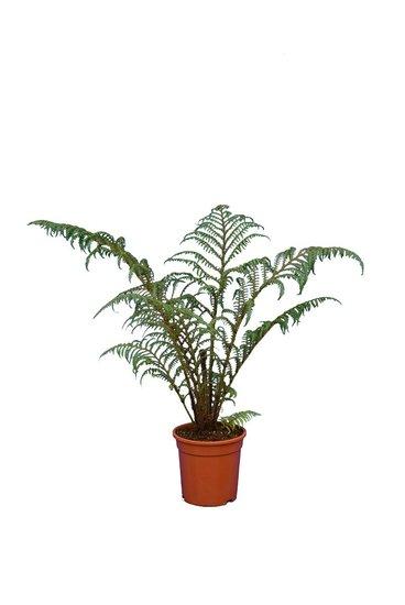 Cyathea tomentosissima Highland Lace Topf Ø 15 cm