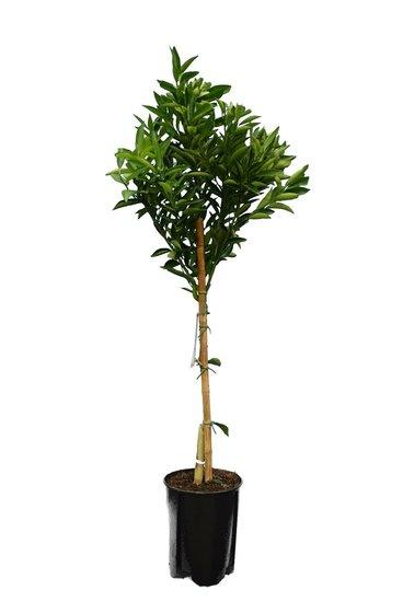 Citrus reticulata - Gesamthöhe 140-160 cm - Ø 26 cm Topf