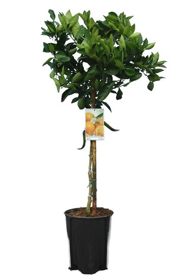 Citrus sinensis - Gesamthöhe 140-160 cm - Topf Ø 26 cm