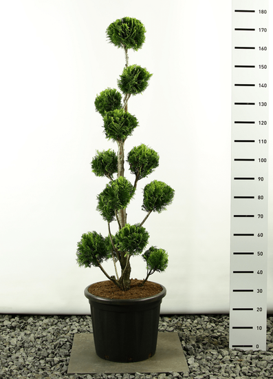 Chamaecyparis lawsonia Stardust Multibol 170-200 cm [Palette]