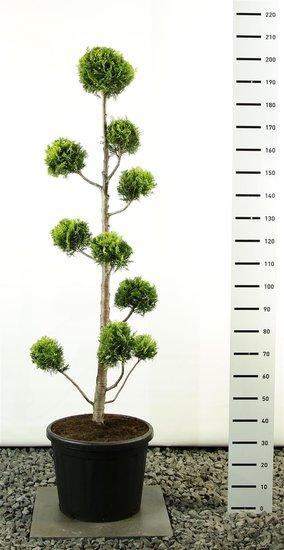 Chamaecyparis lawsoniana Ivonne Multibol - Gesamthöhe 175-200 cm [Palette]