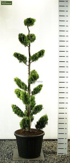 Chamaecyparis lawsoniana Ivonne Multiplateau - Gesamthöhe 225-250 cm [Palette]