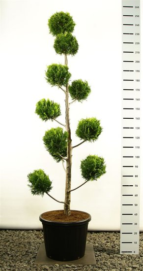 Chamaecyparis lawsoniana Ivonne multibol 250-275 cm [Palette]
