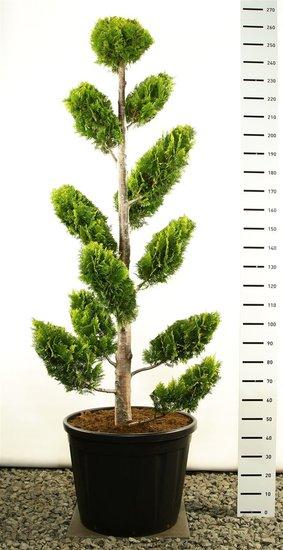 Chamaecyparis lawsoniana Ivonne multiplateau extra 250-275 cm [Palette]