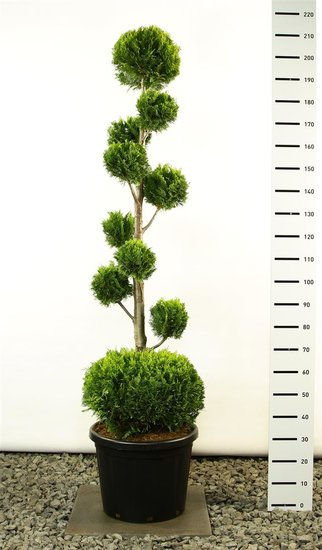 Chamaecyparis lawsoniana Ivonne multibol + bol Gesamthöhe 200-225 cm [Palette]