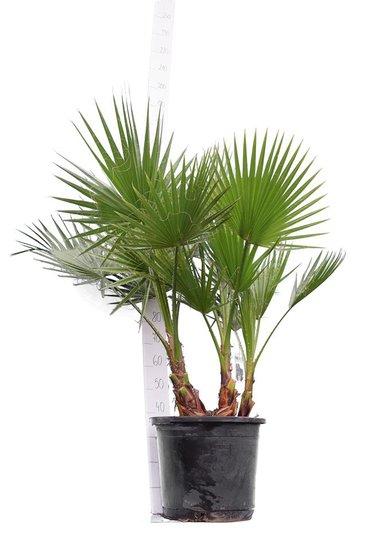 Washingtonia robusta Multistam Topf Ø 45 cm - Gesamthöhe 140-160 cm [Palette]