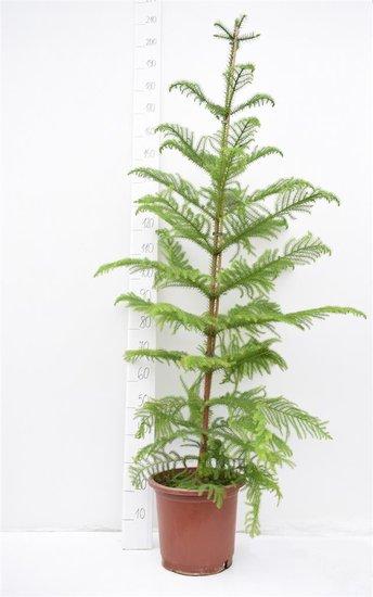Araucaria heterophylla Topf Ø 32 cm [Palette]