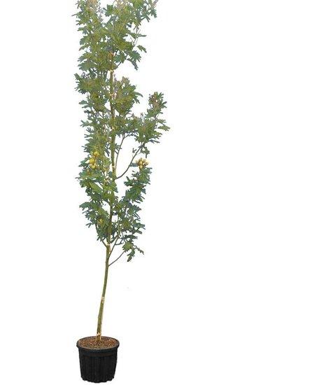Acacia dealbata Topf Ø 33 cm [Palette]