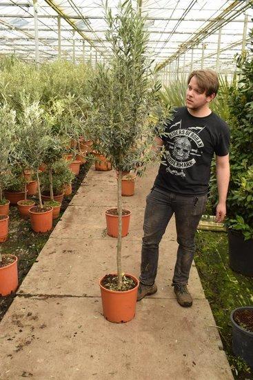 Olea europaea wilde vorm Stamm 100+ cm [Palette]