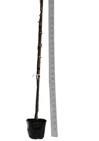 Albizia julibrissin Ombrella Topf Ø 33 cm [Palette]