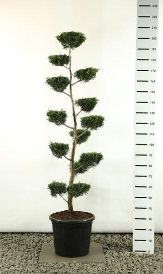 Cupressocyparis leylandii multiplateau flach - Gesamthöhe 200-225 cm [Palette]