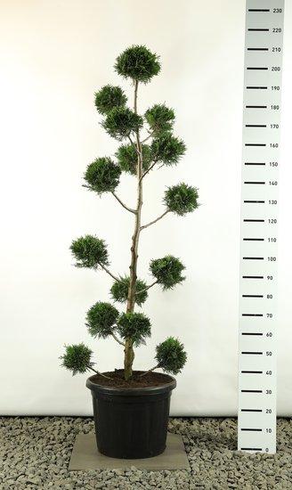 Cupressocyparis leylandii Multibol - Gesamthöhe 170-200 cm [Palette]