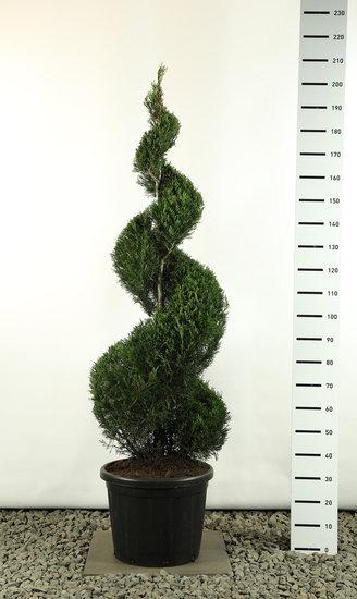 Cupressocyparis leylandii Spirale extra - Gesamthöhe 200-225 cm [Palette]
