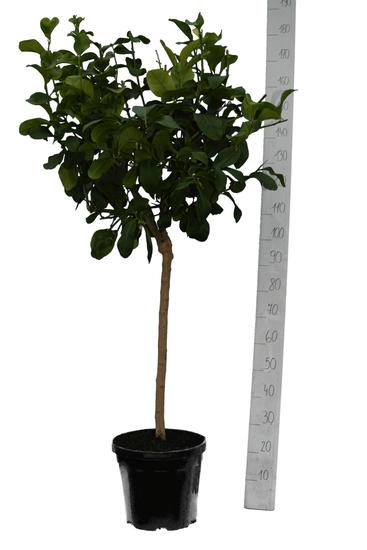 Citrus medica Digitata Topf Ø 35 cm