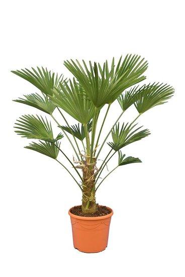 Trachycarpus wagnerianus Frosty Topf Ø 35 cm Stamm 30-40 cm