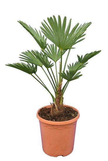 Trachycarpus wagnerianus Frosty Topf Ø 23 cm Gesamthöhe 50-70 cm