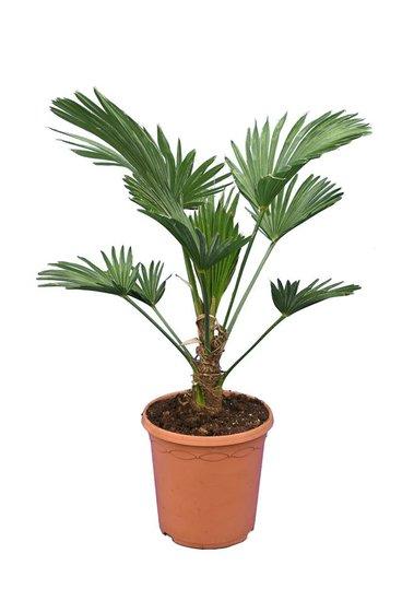 Trachycarpus wagnerianus Frosty Topf Ø 23 cm Gesamthöhe 60-80 cm
