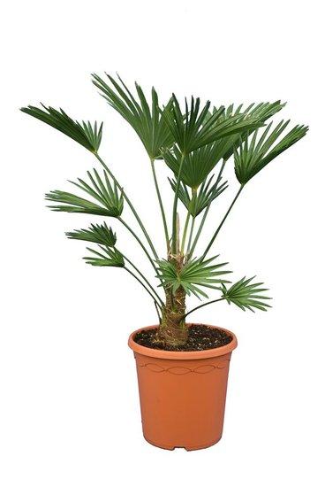 Trachycarpus wagnerianus Frosty Topf Ø 26 cm Stamm 15-25 cm