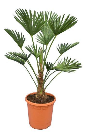Trachycarpus wagnerianus Frosty Topf Ø 26 cm Stamm 20-30 cm
