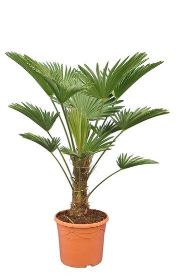 Trachycarpus wagnerianus Frosty Topf Ø 30 cm Stamm 25-35 cm