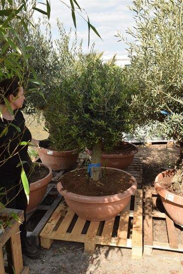 Olea europaea Kugel auf Stamm Stammhöhe 60-80 cm Stammumfang 35-45 cm [Palette]