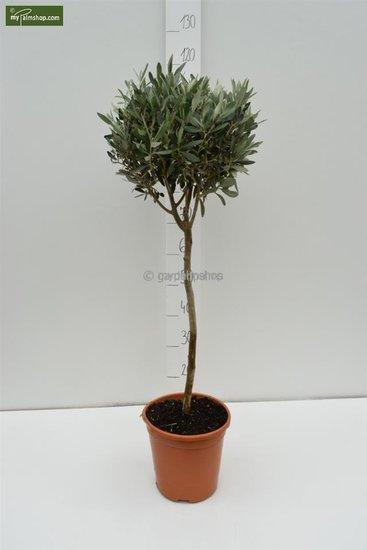 Olea europaea Kugel auf Stamm Stammhöhe 80-90 cm Gesamthöhe 140-160 cm