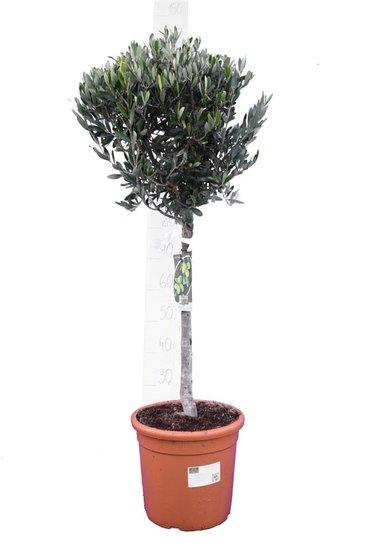 Olea europaea Kugel auf Stamm Stammhöhe 30-40 cm Stammumfang 12-15 cm