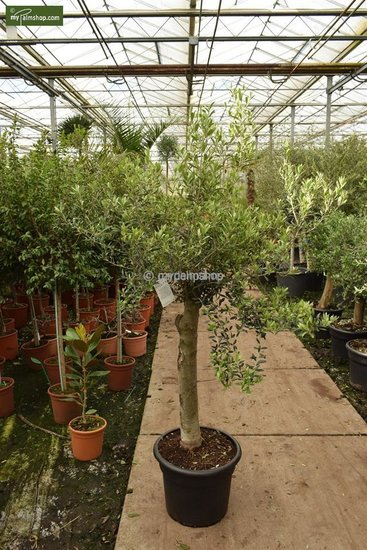 Olea europaea Wildform Stammhöhe 40-50 cm Stammumfang 40-50 cm [Palette]