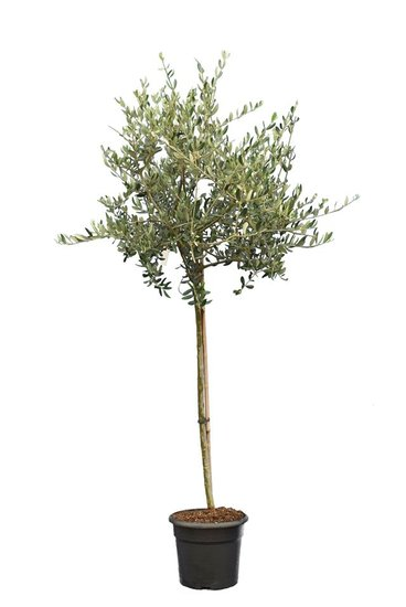 Olea europaea Wildform Stammhöhe 90-110 cm Stammumfang 12-15 cm