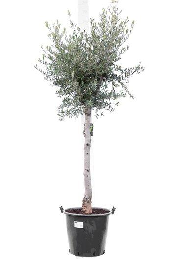 Olea europaea Wildform Stammhöhe 70+ cm Stammumfang 18-22 cm [Palette]