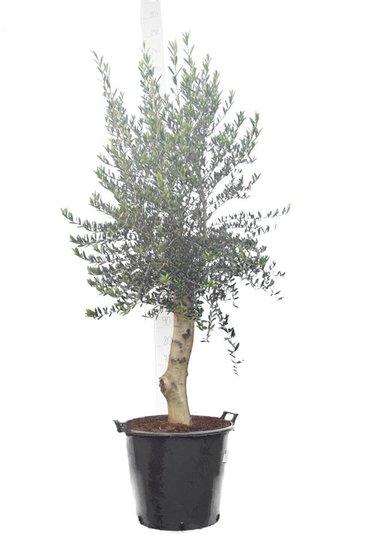 Olea europaea Wildform Stammhöhe 80+ cm Stammumfang 30-40 cm [Palette]