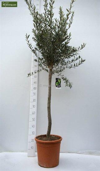 Olea europaea Wildform Stammhöhe 80-90 cm Gesamthöhe 200+ cm [Palette]