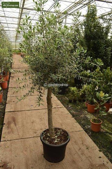Olea europaea Wildform Stammhöhe 40-50 cm Stammumfang 25-30 cm [Palette]