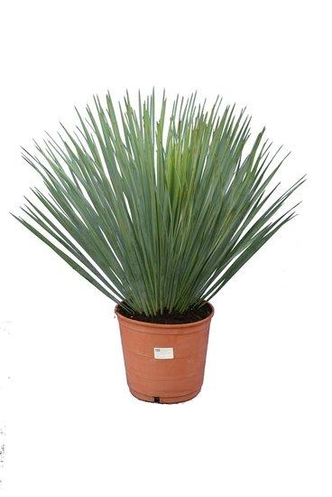 Yucca rostrata Gesamthöhe 60-80 pot Ø 21 cm