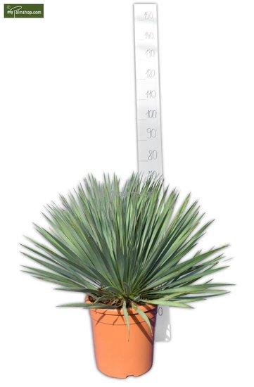Yucca rostrata Ø 26 cm Topf