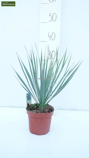 Yucca rostrata Gesamthöhe 30-40 cm