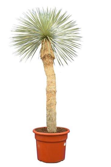 Yucca rostrata Stamm 120-140 cm [Palette]