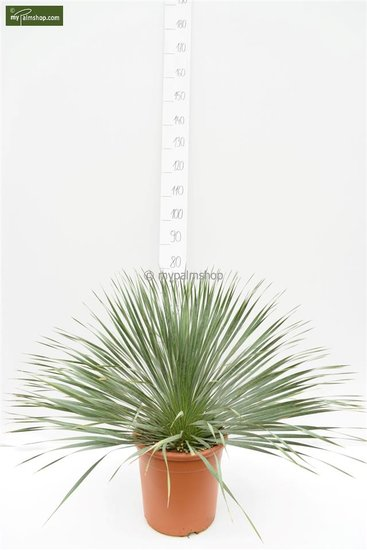 Yucca rostrata Gesamthöhe 70-90 cm